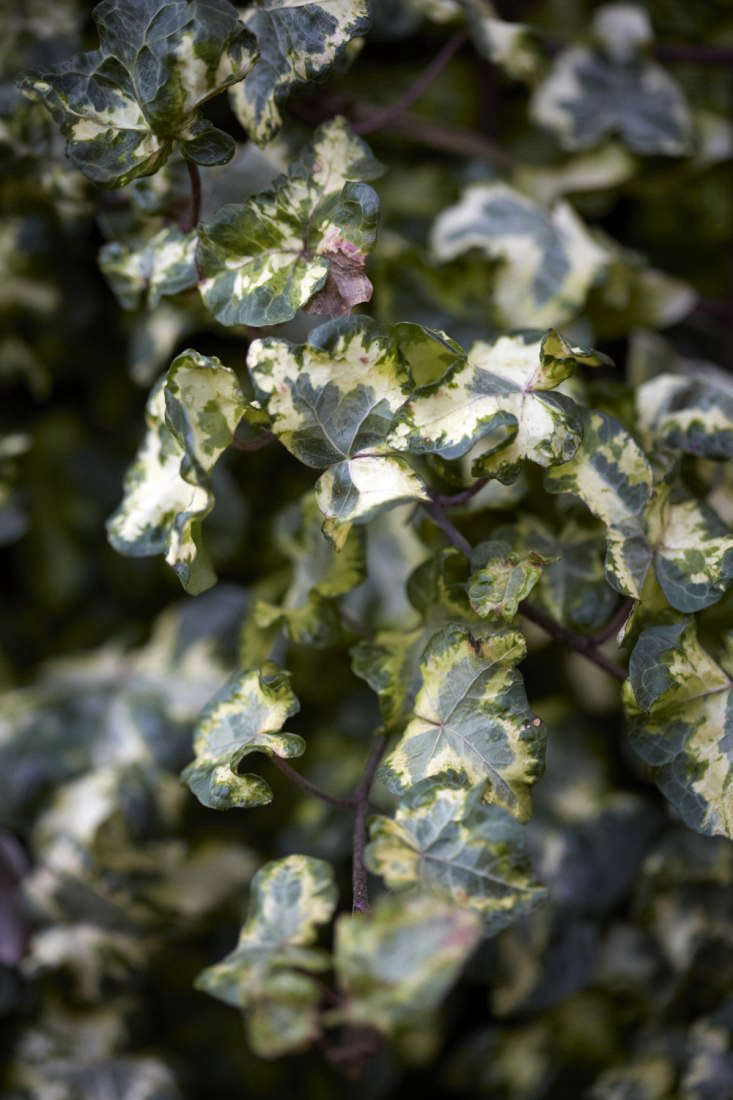 Hedera helix &#8\2\16;Golden Curl&#8\2\17; is both variegated and crinkly around the edges. Its chartreuse coloring benefits from good light.