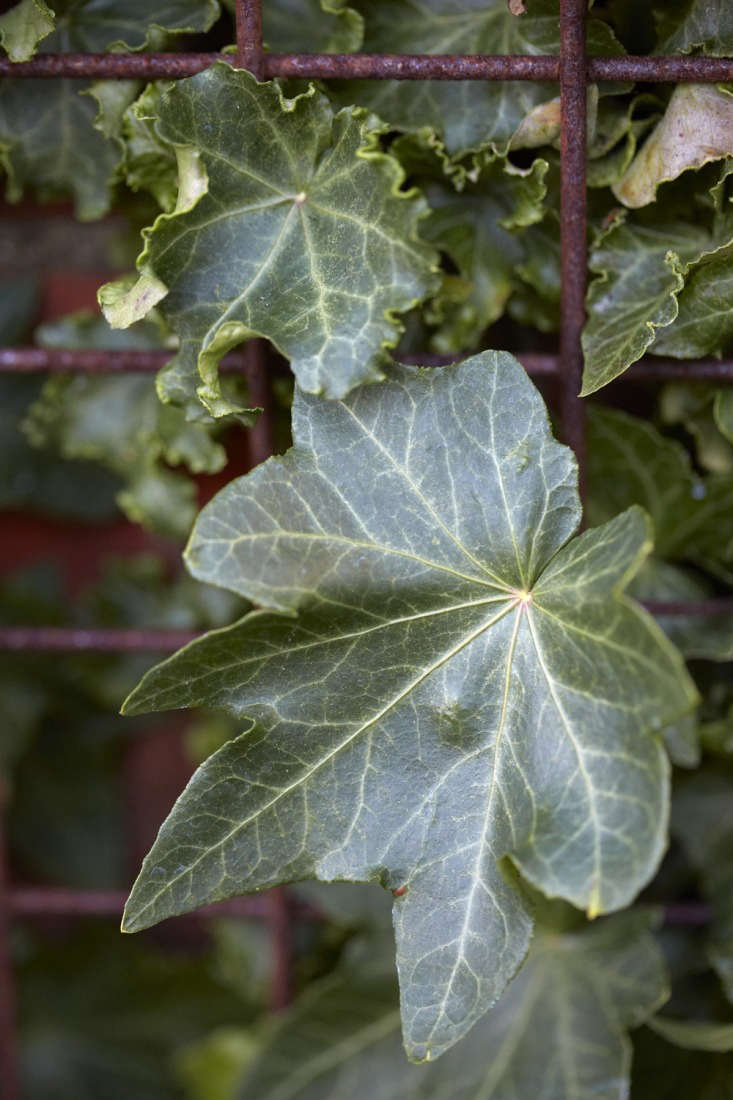 A vigorous American variety from \1950, Hedera helix &#8\2\16;Parsley Crested&#8\2\17; has edges that are mainly crimped. The leaves turn to copper in autumn.