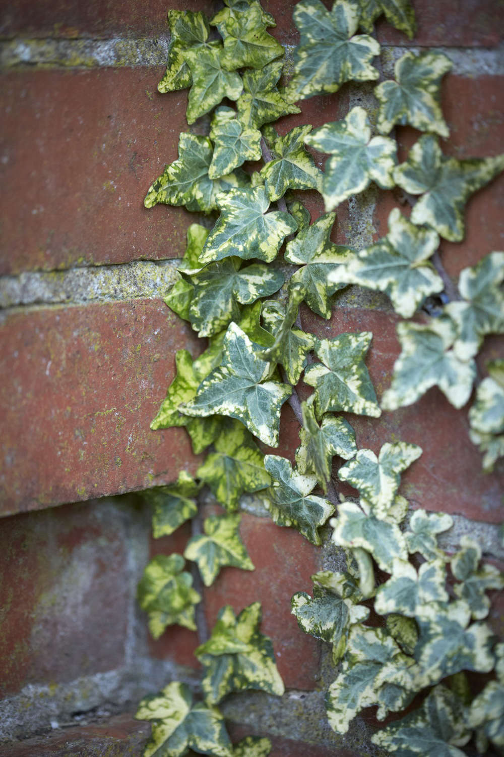 Ivy thrives in soil that is rich in limestone or rubble. Shown here is Variegated Hedera helix &#8