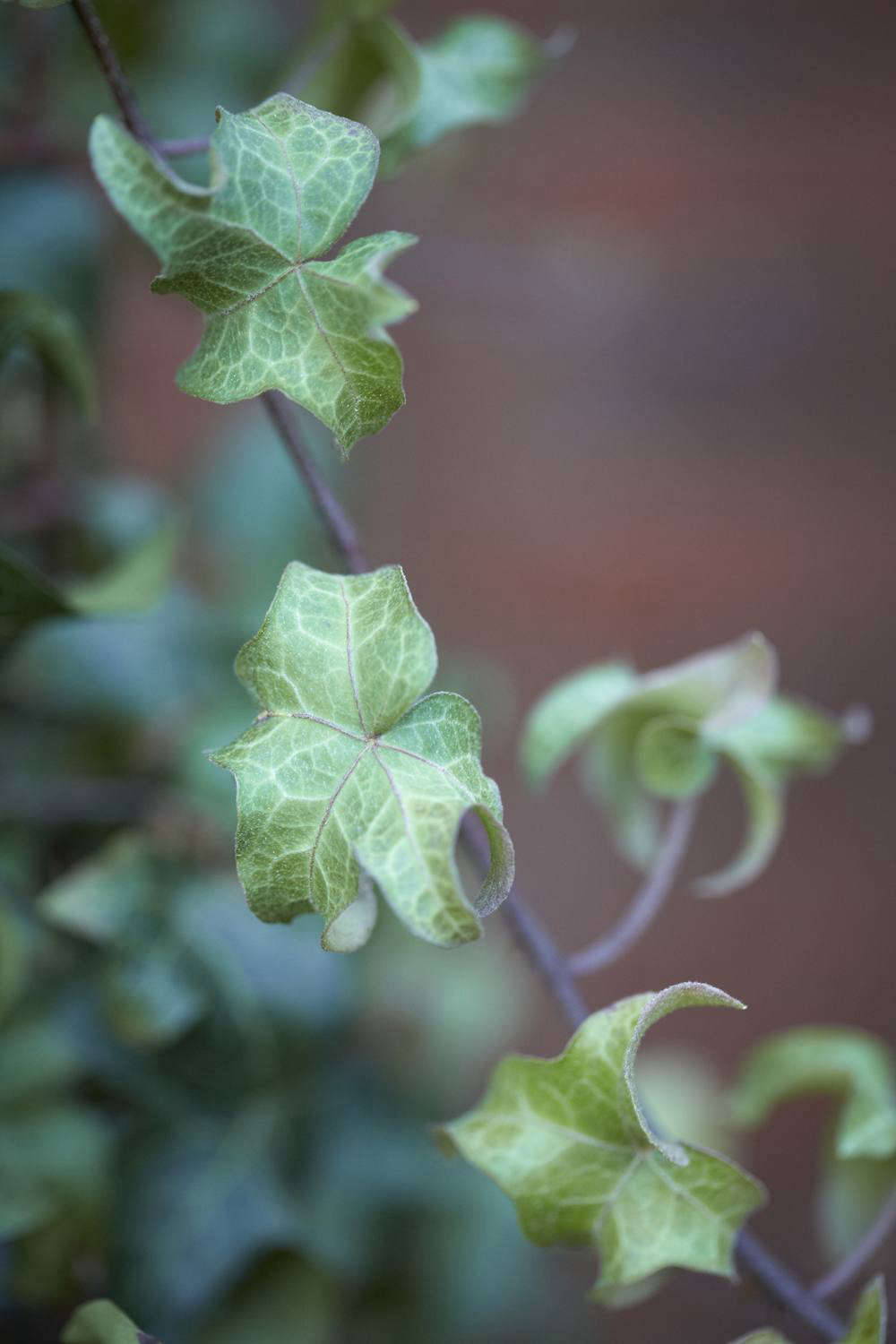 Small, star-shaped Hedera helix &#8