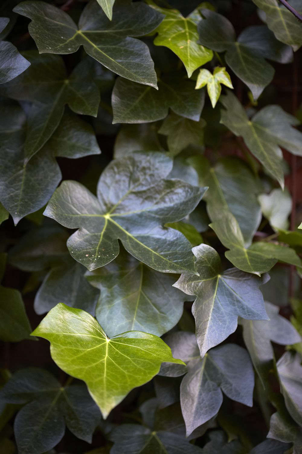 Glossy leaves of Hedera maroccana &#8