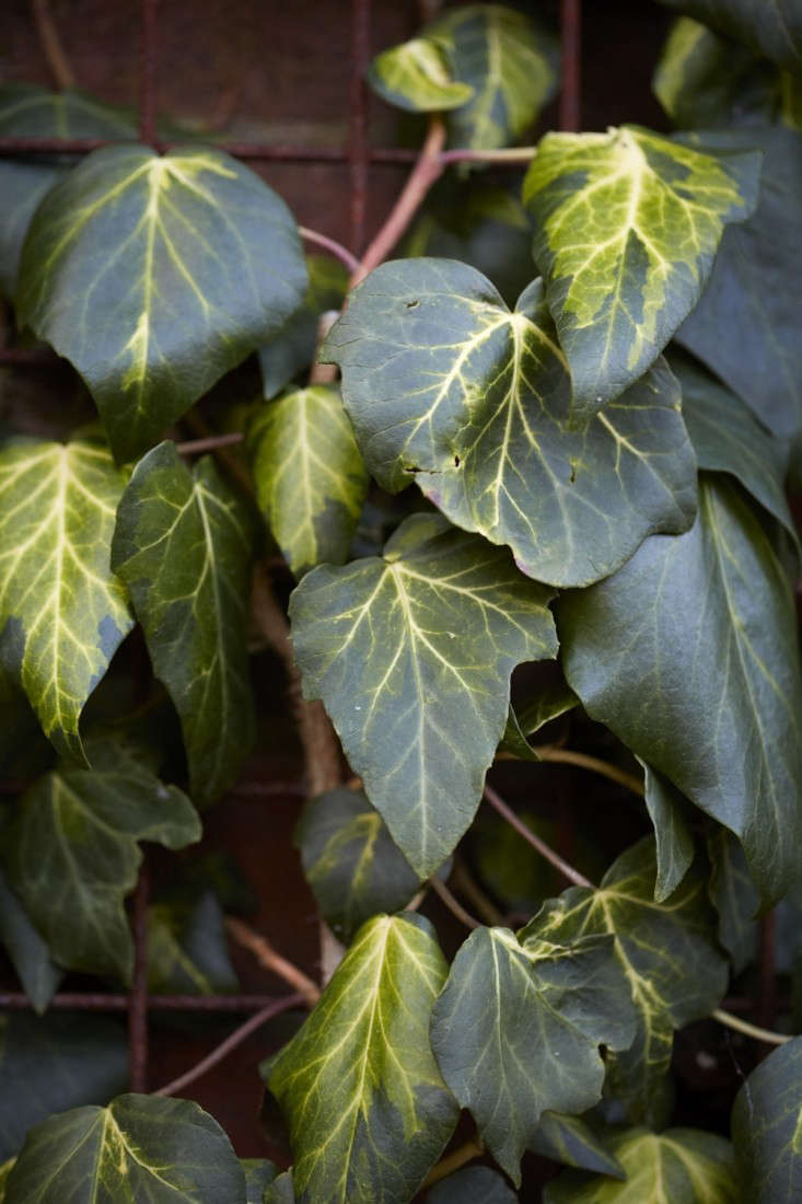 Amorphous in shape and pattern, Hedera colchica &#8\2\16;Sulphur Heart&#8\2\17; does resemble a yellow-green heart.