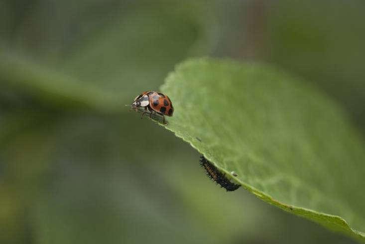 Ladybug adult and reptile-like larva.