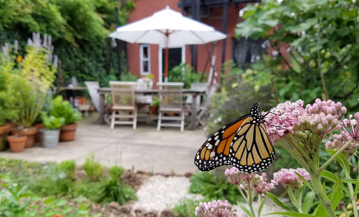 A monarch on milkweed in Marie Viljoen&#8