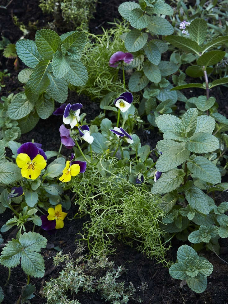 In their pre-tisane incarnations, mint, chamomile, and pansies mingle in the garden.