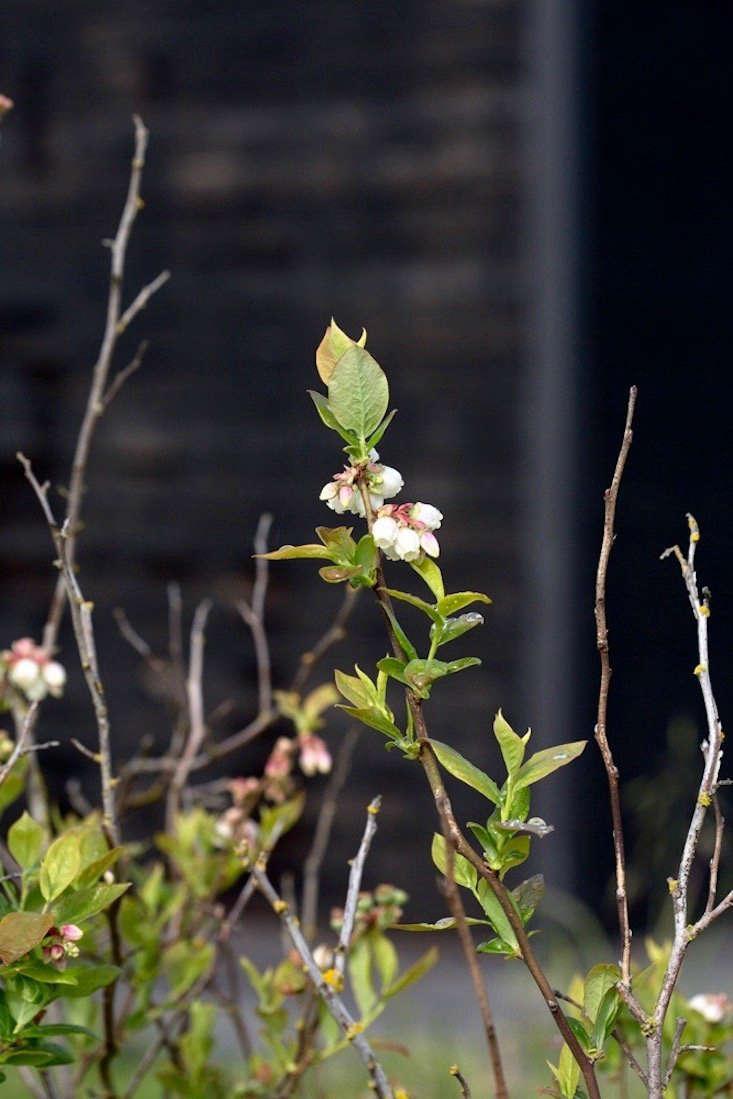 Blueberry bushes flower in preparation for setting fruit.
