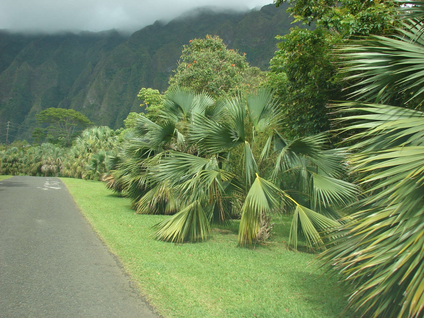 Sabal palm (Sabal palmetto) at Hoomaluhia Botanical Garden on Oahu. Photograph by Forest and Kim Starr via Flickr.