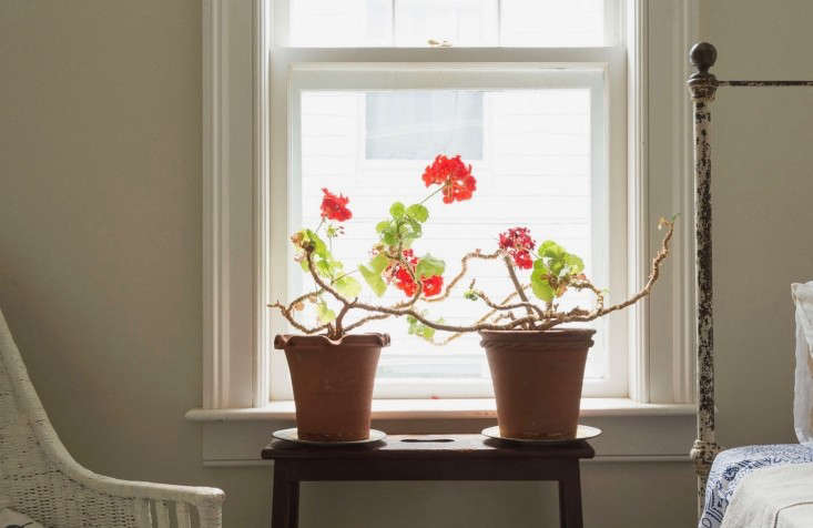 A pair of pelargoniums in John Derian&#8
