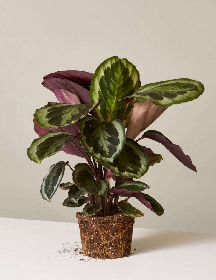 ACalathea Medallion in a six-inch plastic nursery pot is $ from The Sill.