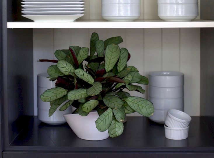 A calathea is a good choice for a spot with low light. See more inBest Houseplants: 9 Indoor Plants for Low Light. Photograph by Mimi Giboin.