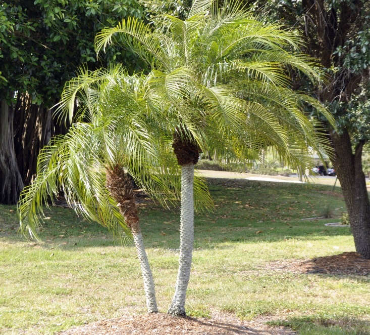 A pygmy date palm. Photograph by Sandy Poore via Flickr.