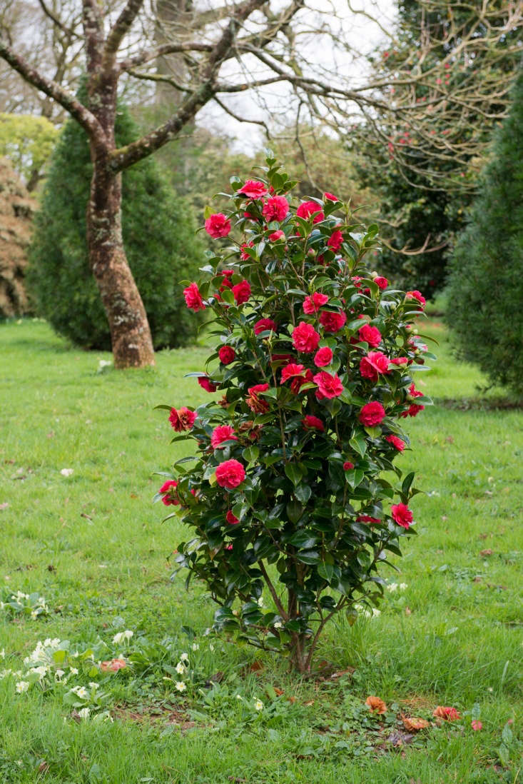 A red camellia in Cornwall, England. Photograph by Heather Edwards. See more at Landscaping Ideas: The Case for Camellias.