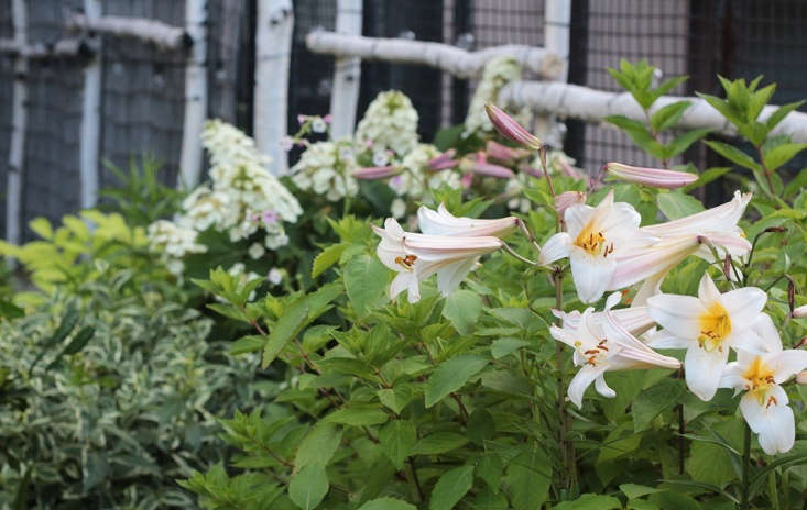 A Lilium regale bulb is $5 at The Lily Garden.