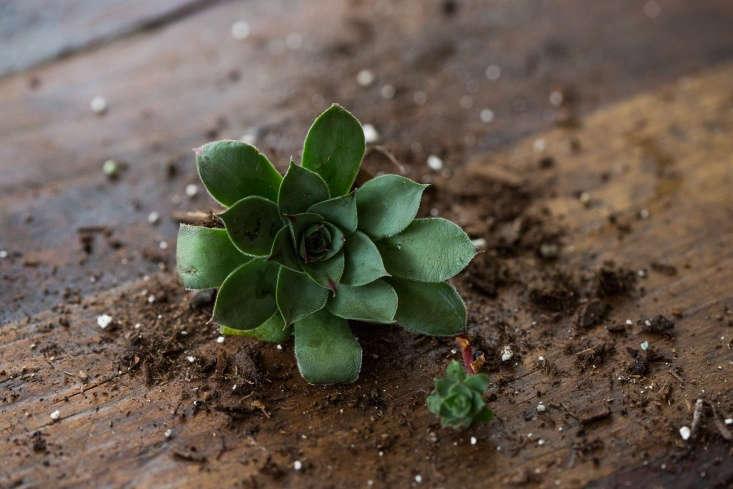 Telltale signs of a sempervivum: a rosette shape and a tiny offspring (called an offset).