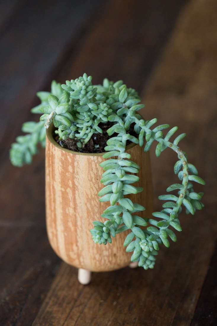 Don&#8\2\17;t over water Burro&#8\2\17;s tail (Sedum morganianum) or it will rot. Don&#8\2\17;t jostle it because its leaves fall off easily. Other than that, easy plant to grow: partial sun, cool temperatures, well-drained soil.