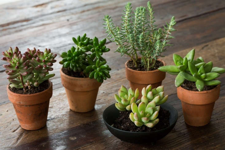 Sedums to grow indoors or out include (clockwise from left:)Sedum rubrotinctum &#8\2\16;Pork and Beans&#8\2\17;;non-red-tinged Sedum rubrotinctum 'Pork and Beans';Sedum rupestre 'Angelina'; Sedum &#8\2\16;Lime Gold&#8\2\17;; andStonecrop &#8\2\16;Golden Glow&#8\2\17;.