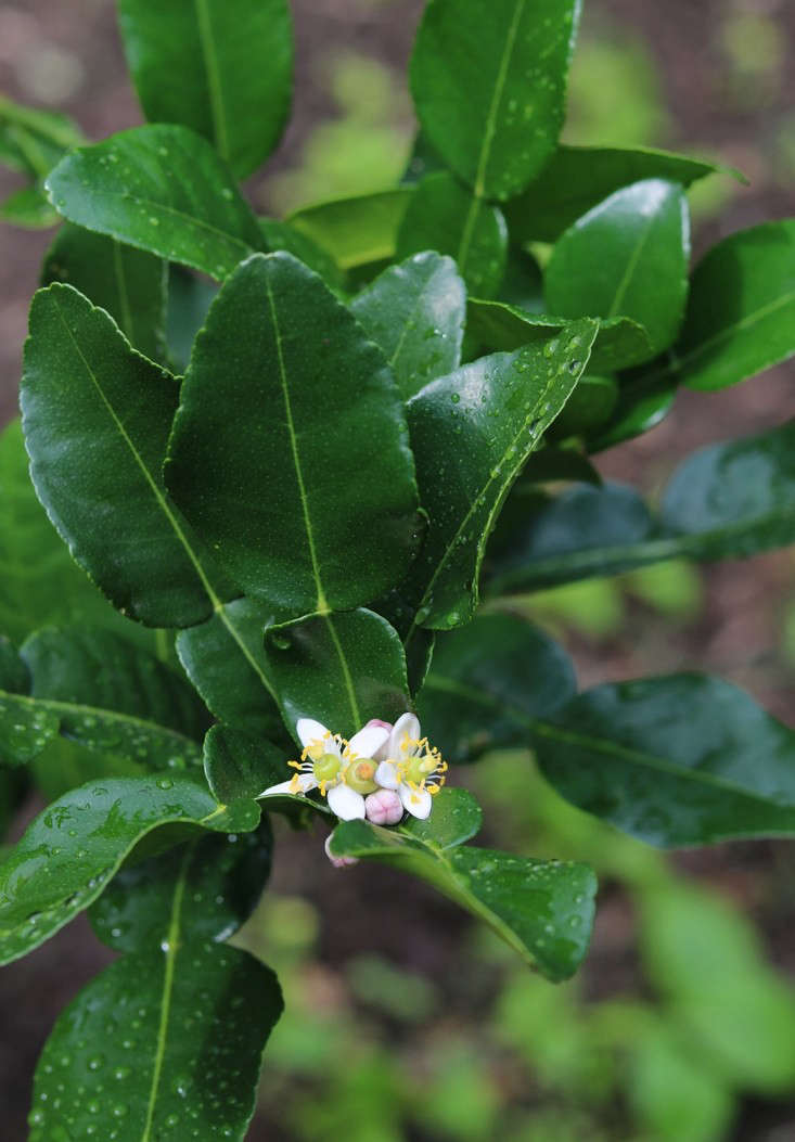 A Thai lime tree from Lemon Citrus Treeis $95.99 for a four- to five-year old tree. An Australian finger limeis $40 for a three-year-old tree from Four Winds Grower.