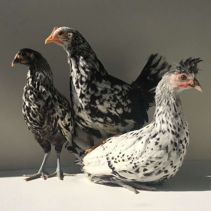 The Fancy F&#8\2\17;s white-egg layers are three spotted varieties, from left: a Silver-Spangled Hamburg, Exchequer Leghorn, and Appenzeller Spitzhauben (&#8\2\20;which have fantastic mohawks&#8\2\2\1;).