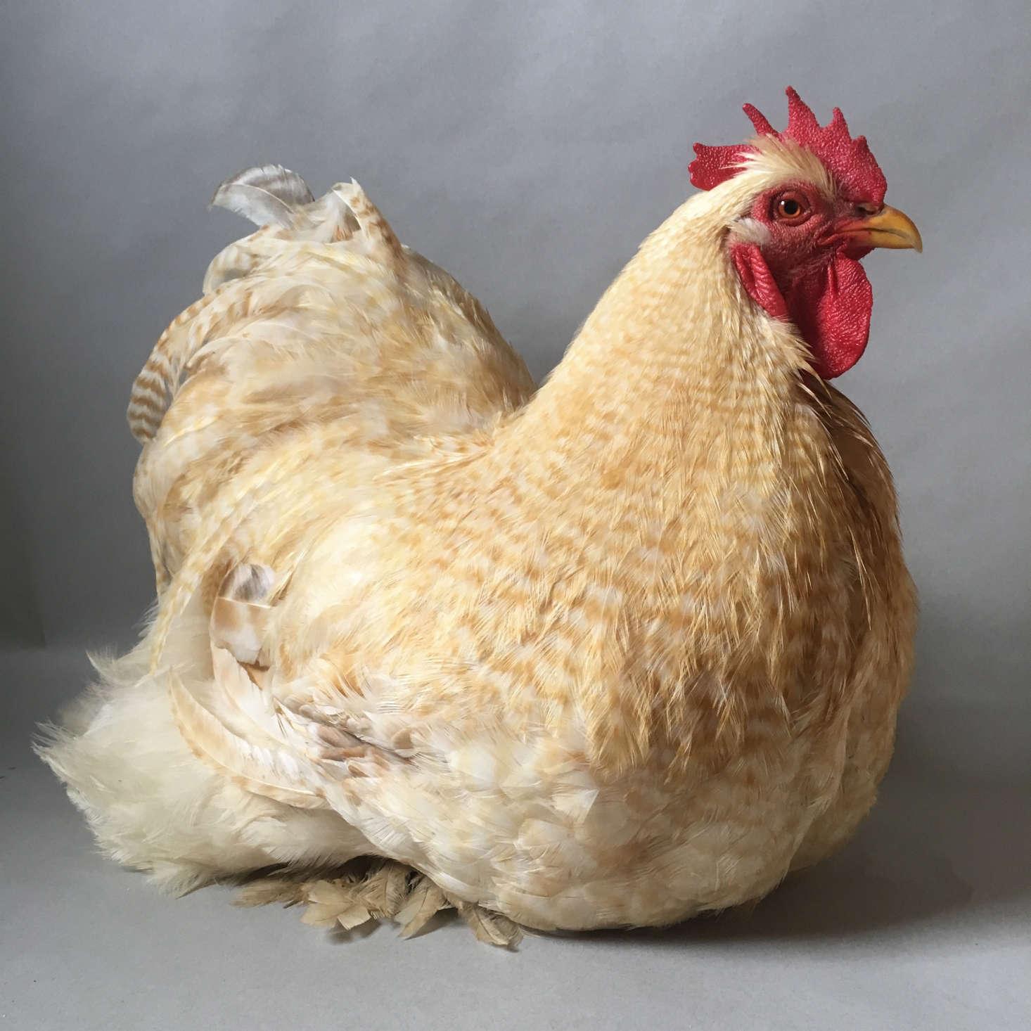 Louis, a Lemon Cuckoo Standard Cochin rooster, was &#8