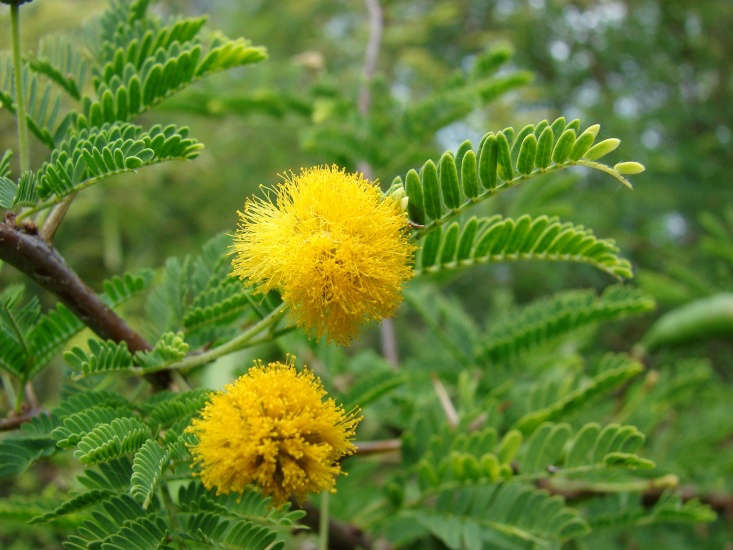 Despite its common name, sweet acacia (Vachellia farnesiana) is no longer officially an acacia. Photograph by Forest and Kim Starr via Flickr.