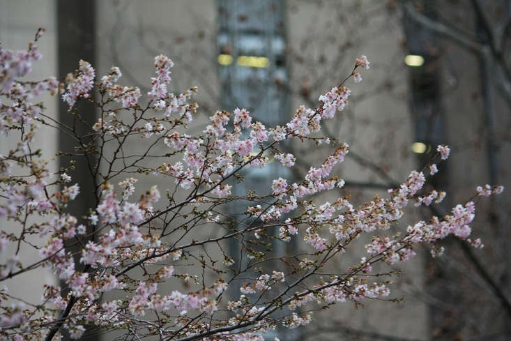 Higan is the magical cherry that will bloom lightly just before winter, confusing and delighting humans. It blossoms again, far more profusely, in mid-spring.