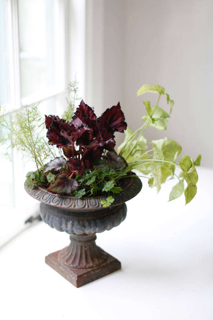 begonia rex in footed planter