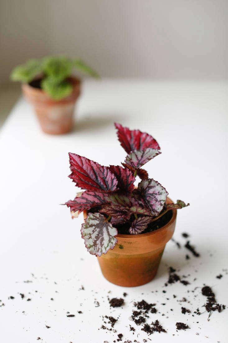 Begonia rex &#8
