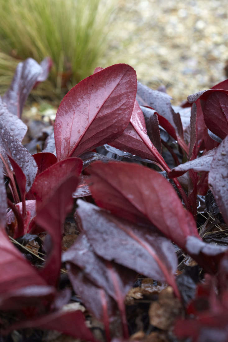 With twists and turns to reveal both sides, Bergenia &#8