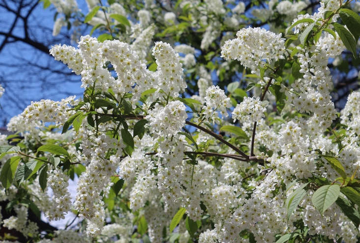 A native American cherry, wild black cherry is a good choice for a large garden. Unlike smaller ornamental cherries it grows very tall, sometimes up to \100 feet. Its abundant racemes of white flowers appear about a month after imported cherries bloom.