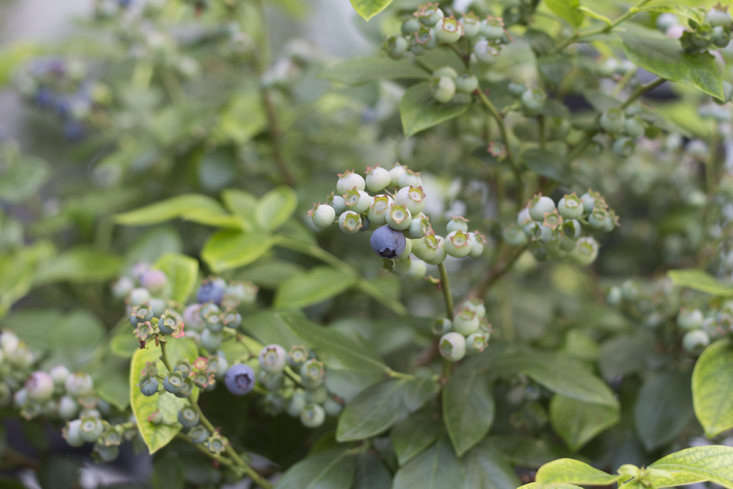 Lowbush blueberries are hardy in zones 3 to 8.