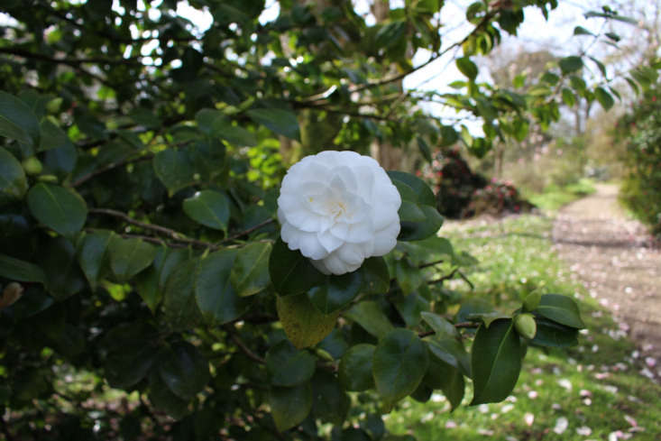 Camellia growing at Caerhays Castle, in Cornwall. Photograph by Kendra Wilson.