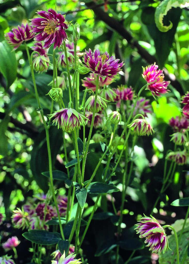 Aquilegia vulgaris var. stellata &#8