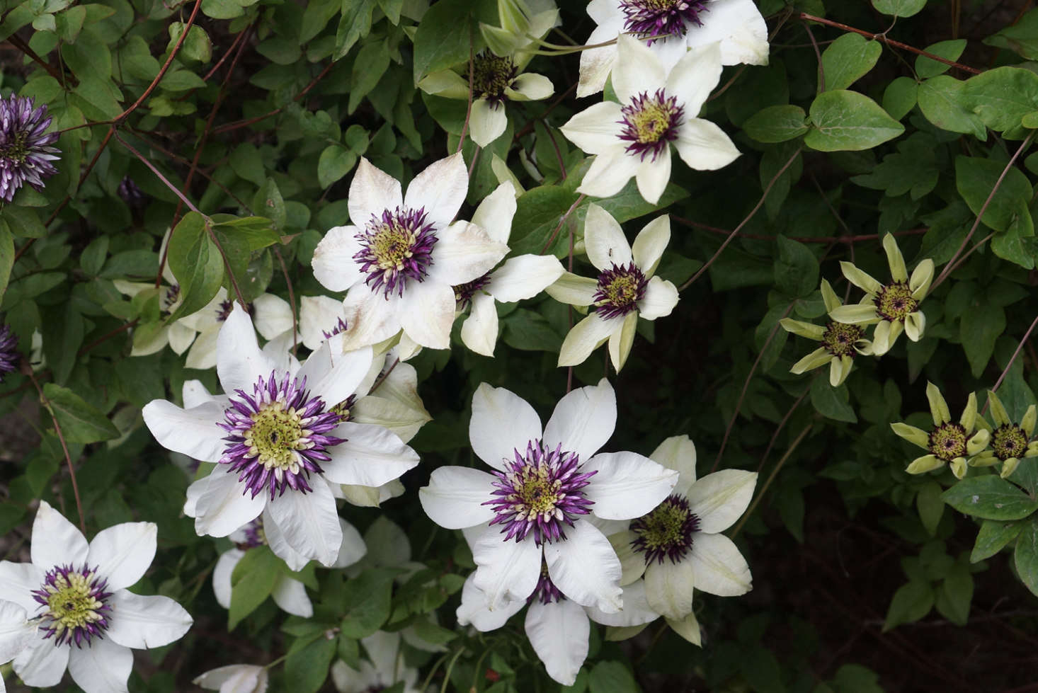 Clematis florida var. sieboldiana. A Clematis vine is £.99 from Crocus. For US shoppers, the variety is available seasonally from Brushwood Nursery.