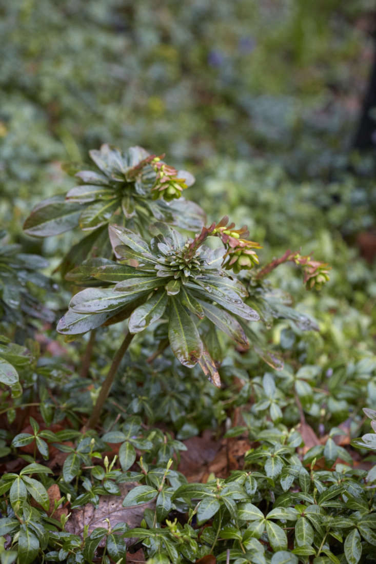 Reflective evergreens, wood spurge with periwinkle in Beth Chatto&#8\2\17;s woodland garden.