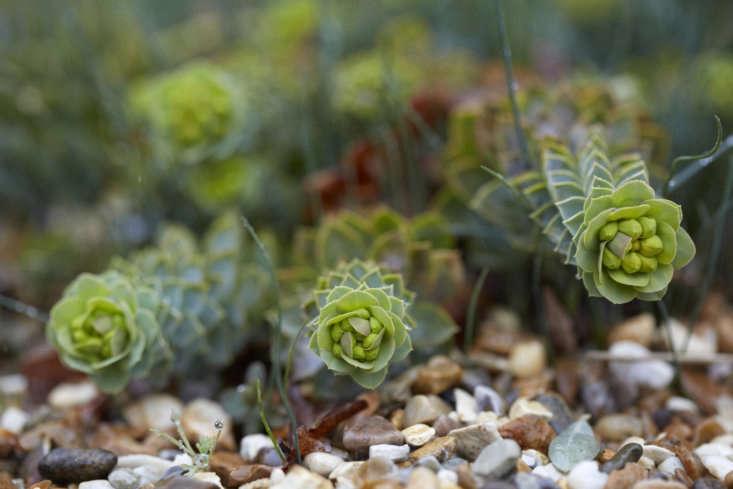 Euphorbia myrsinitescrawls along on a layer of gravel.