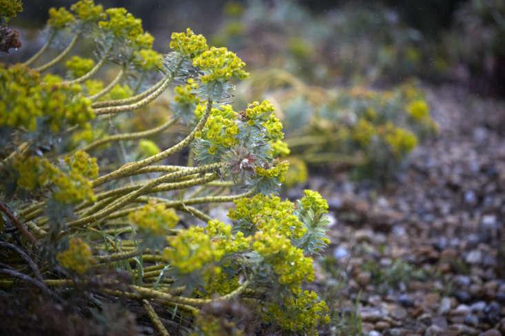Euphorbia rigida at RHS Hyde Hall in Essex.