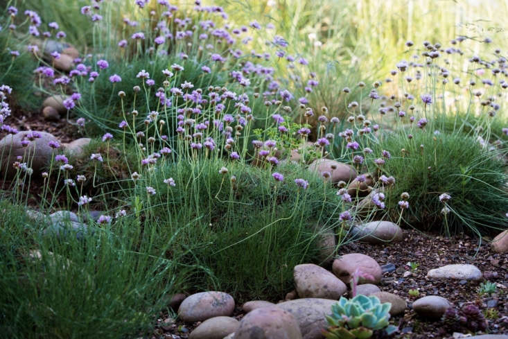 """Sea thrift (Armeria maritima) forms helpful mats of ground cover, aided here by stones and gravel. See more at Can This Garden Be Saved: """"My Garden is Windy"""". Photograph by Claire Takacs."""