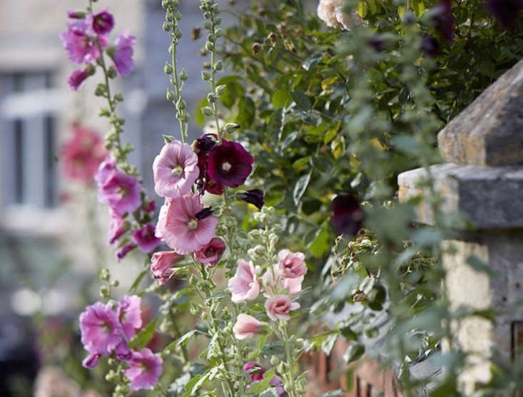 Hollyhocks find shelter from the wind, growing against walls, fences, and foundations. Photograph by Britt Willoughby Dyer.