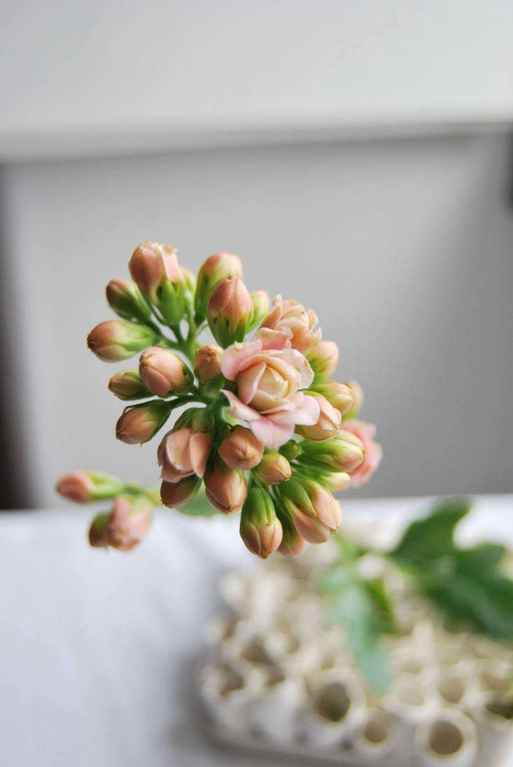 A double-blooming variety of kalanchoes. Photograph by Chelsea Fuss.