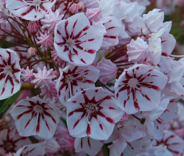 K. latifolia &#8\2\16;Peppermint&#8\2\17;. Photograph via Broken Arrow Nursery.