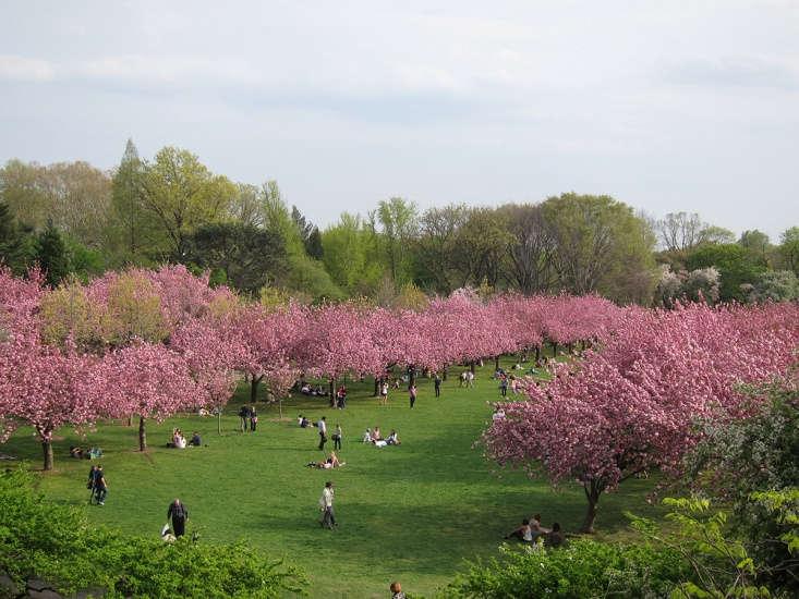 Brooklyn Botanic Garden&#8\2\17;s cherry display.