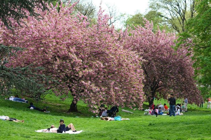 &#8\2\16;Kanzan&#8\2\17; cherries in Central Park