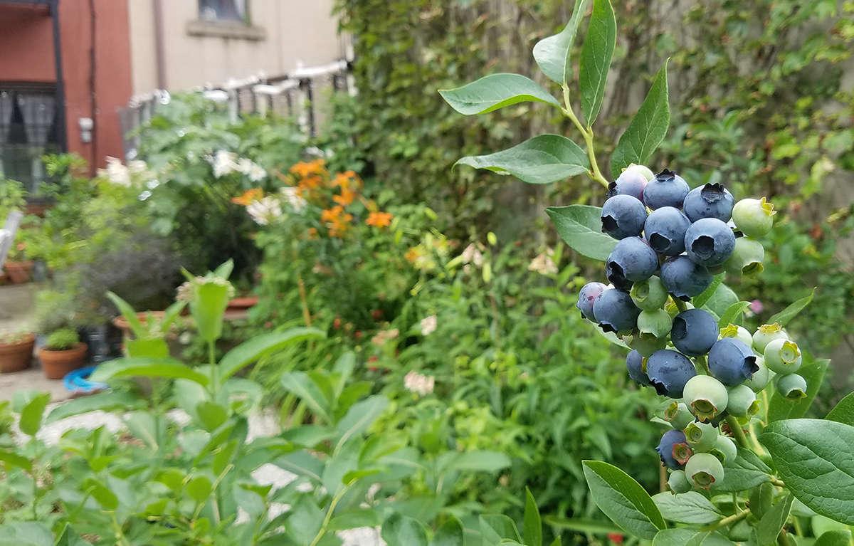 Blueberry bushes thrive in my Brooklyn garden.