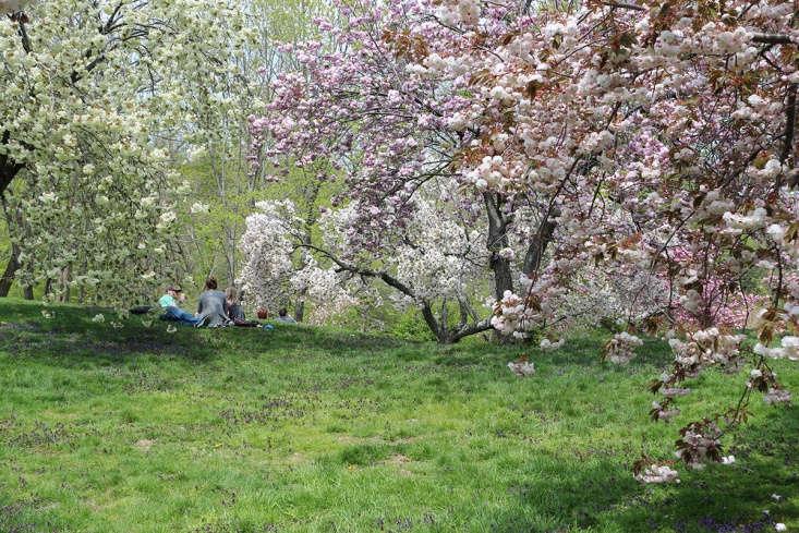 Cherries in bloom at the New York Botanic Garden.