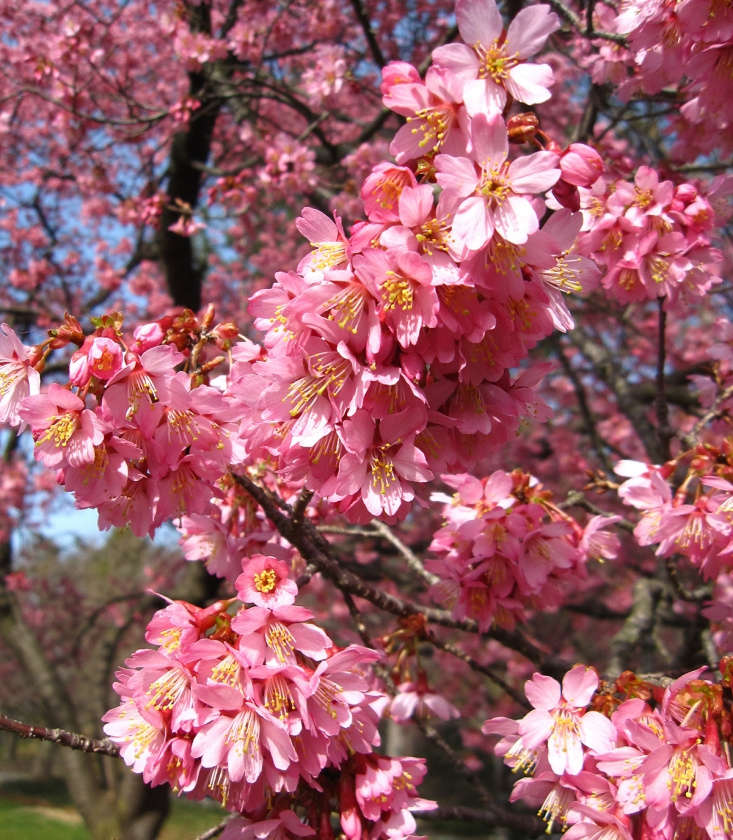 The defining deep rose pink of &#8\2\16;Okame&#8\2\17; cherry blossoms, combined with their mild fragrance, makes them a star of early spring. &#8\2\16;Okame&#8\2\17; is hardy from zones 6 to 9.