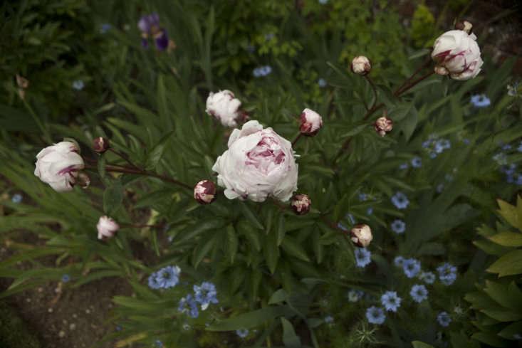 Paeonia lactiflora &#8
