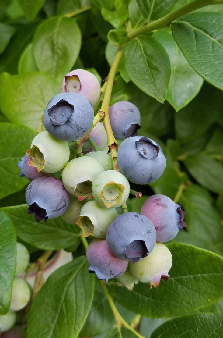 Highbush blueberries are hardy in USDA growing zones 6 to 8.