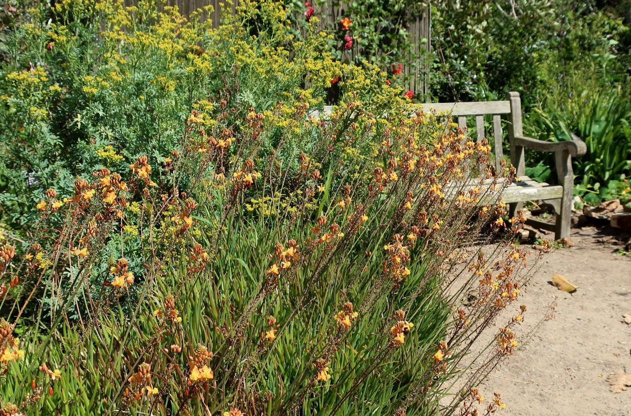 Rue intermingles with Bulbine frutescens at the San Diego Botanic Garden. Photograph by Cultivar4 via Flickr.