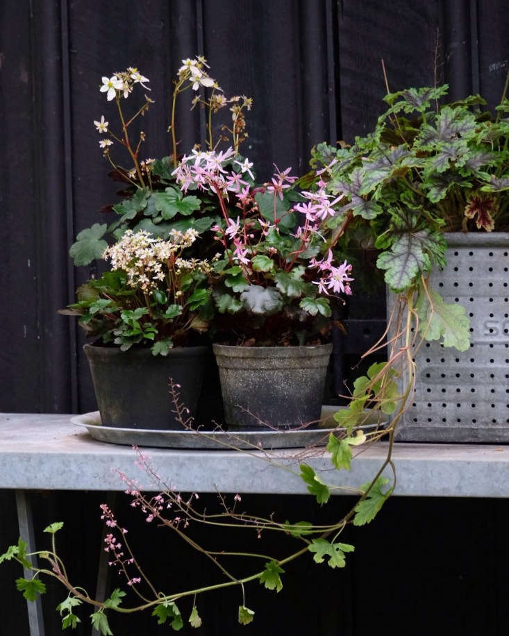 Saxifragia and heuchera look just as lovely in pots as in a garden bed. For more, see Garden Outpost: An Instagram Star on an Island in Denmark. Photograph by Mette Krull.