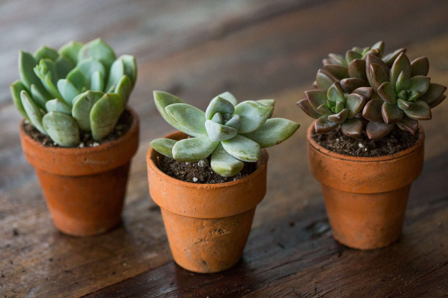 Three hybrids talk things over; (from left:) Graptoveria &#8